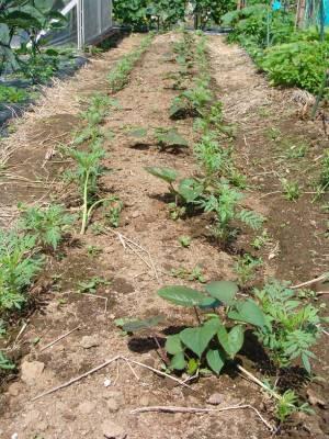 画像5(サツマイモの畝)