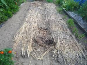 画像2(藁を敷き詰めたキャベツの畝)