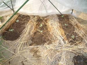 画像1(ブロッコリーの定植)