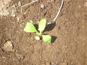 画像4(白菜きらぼし65の定植)