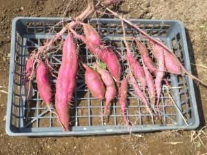 画像4(サツマイモの一部収穫)