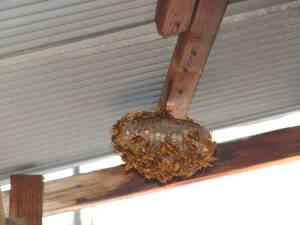画像7(アシナガバチの巣)