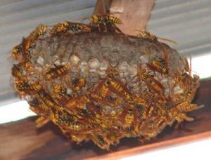 画像8(アシナガバチの巣)