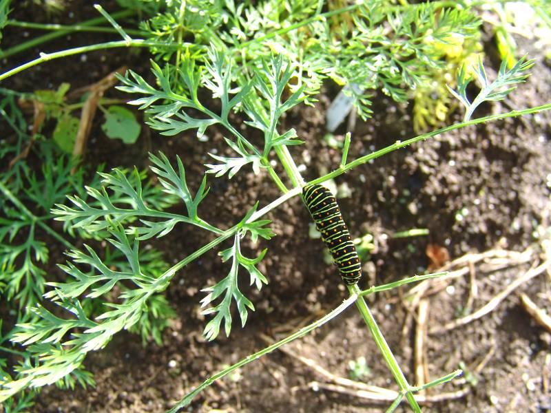 画像1(ニンジンの葉のアゲハの幼虫)