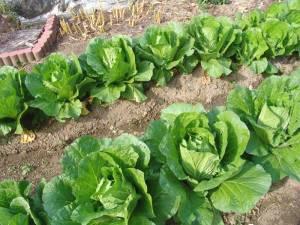 画像2(白菜)