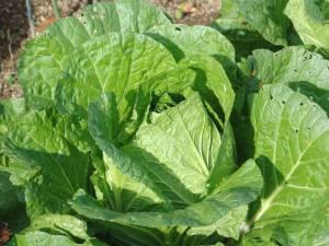 画像3(白菜)