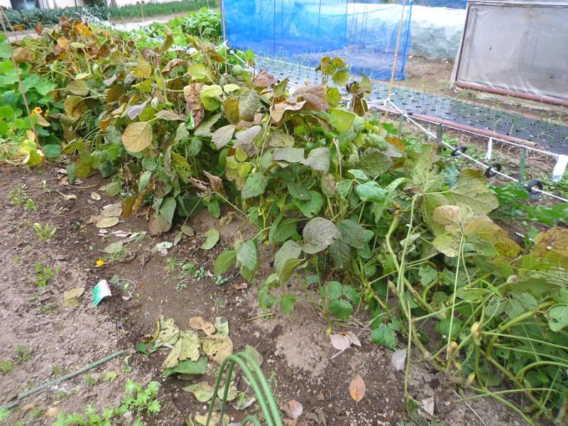 画像1(収穫前の黒豆)