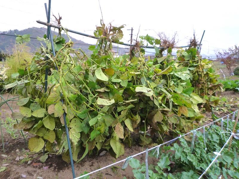 画像2(収穫後の黒豆)