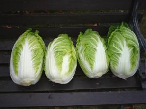 画像3(収穫した白菜)