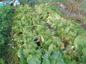 画像5(近所の畑の白菜)