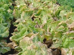 画像6(近所の畑の白菜)