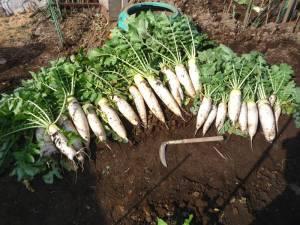 画像1(大根の収穫)