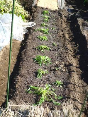 画像2(移植した京水菜と春菊)