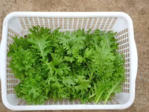 画像2(初収穫のわさび菜)