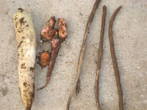 画像7(掘り出した野菜)