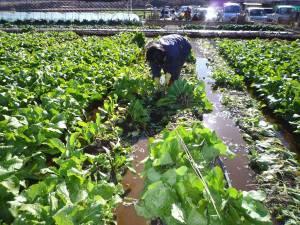 画像1(水掛菜の収穫)