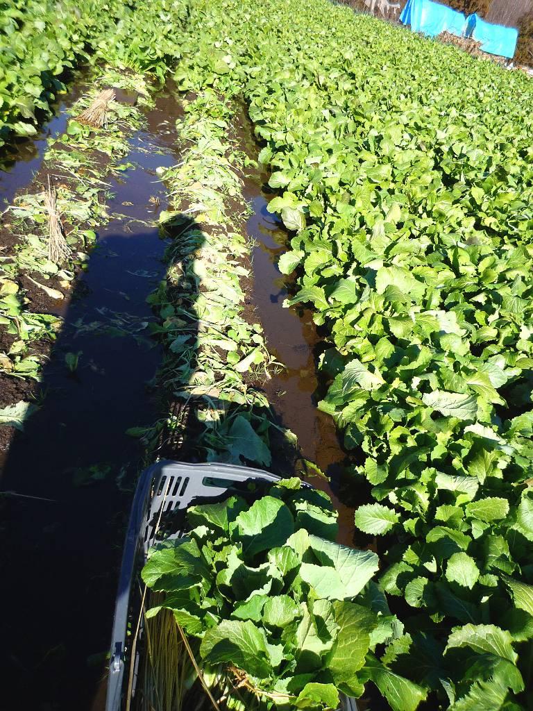画像4(水掛菜の収穫)