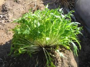 画像2(収穫した京水菜)