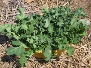 画像2(収穫した冬菜)
