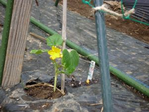 画像4(定植したキュウリ苗の花)