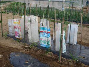 画像6(トマトの定植)