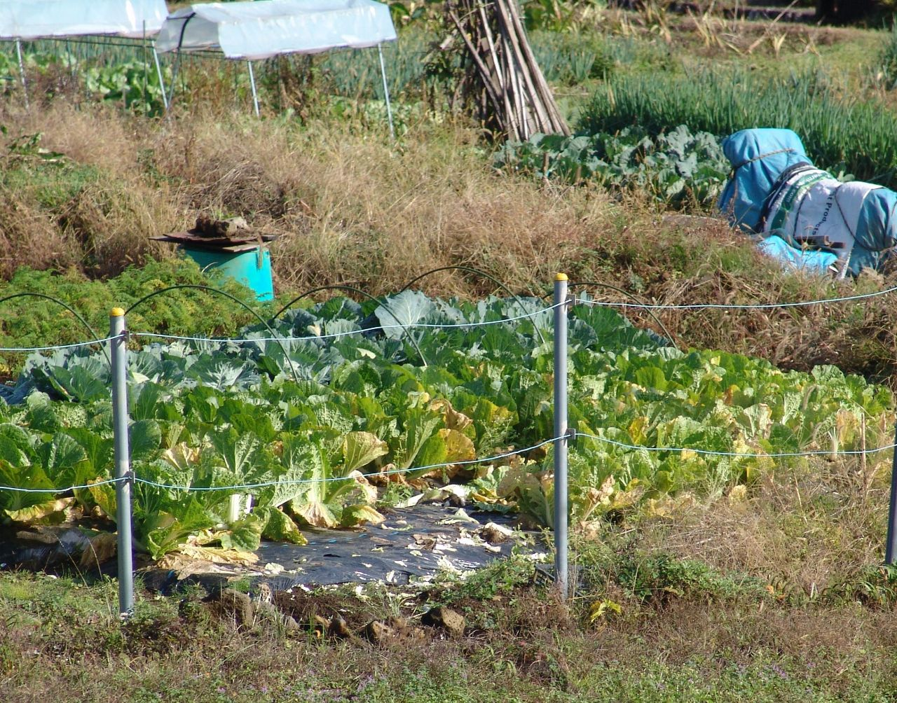 画像1(謳歌病の白菜)