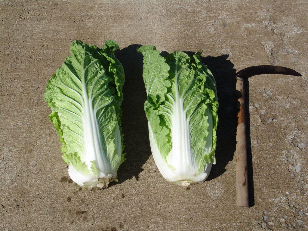 画像4(収穫した白菜)