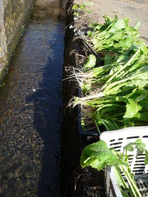 画像2(水掛け菜と湧水)