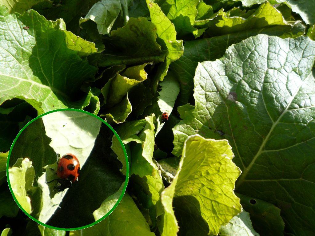 画像3(水掛け菜とナミテントウ)