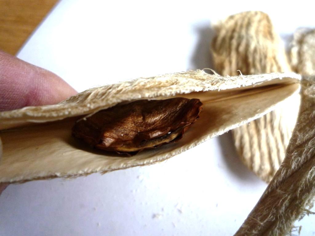 画像5(マンゴーの種豆)