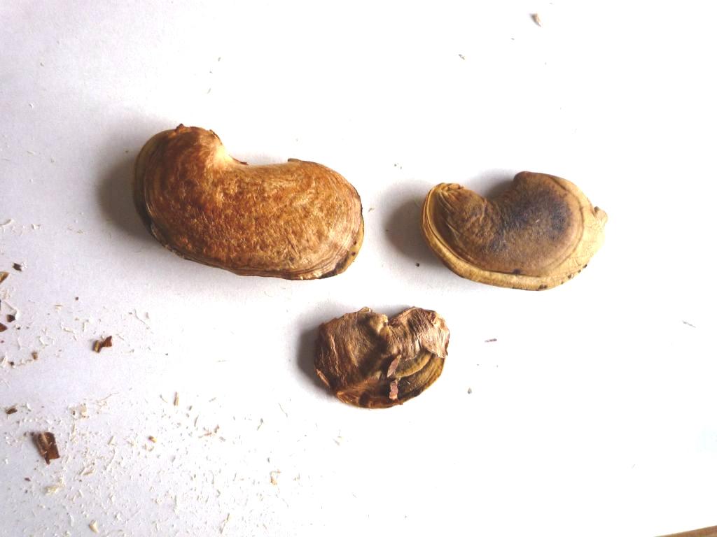 画像6(マンゴーの種豆)