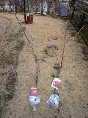 画像1(リンゴの苗木)