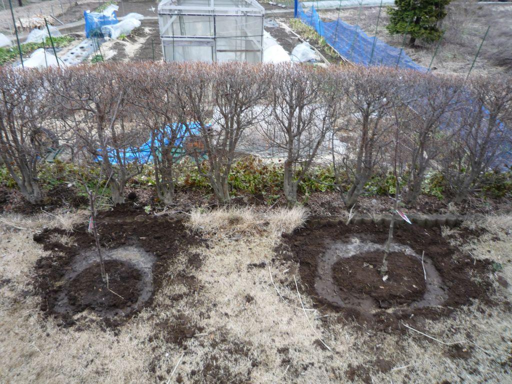 画像3(定植したリンゴの苗木)