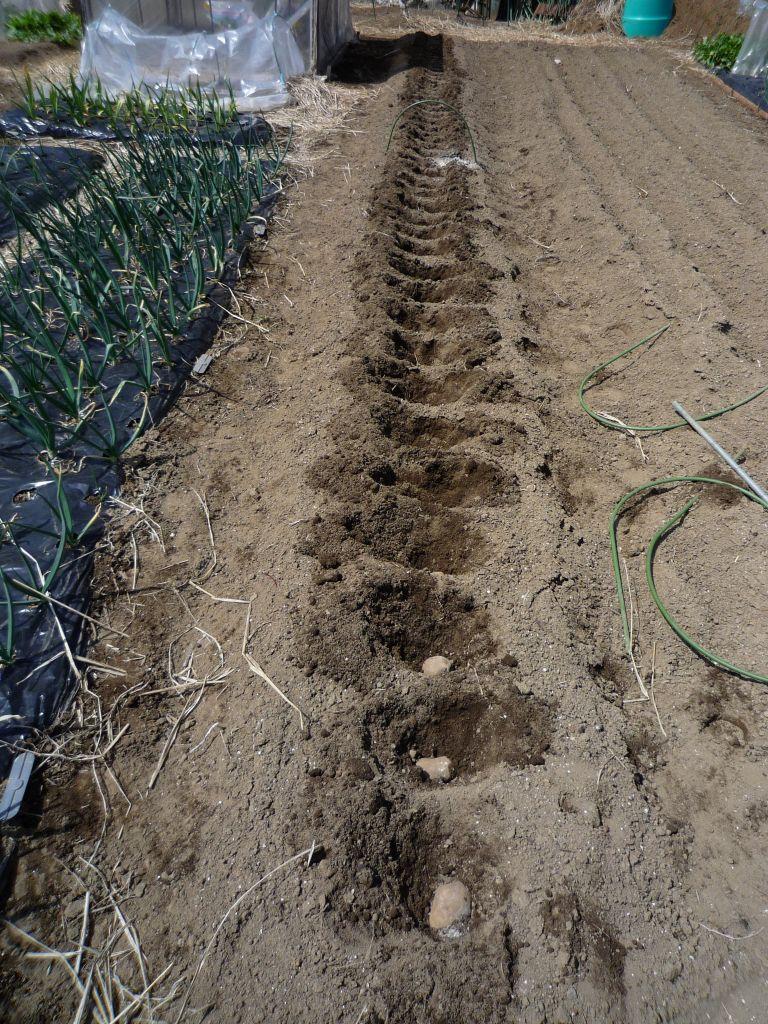 画像1(ジャガイモの植え付け)
