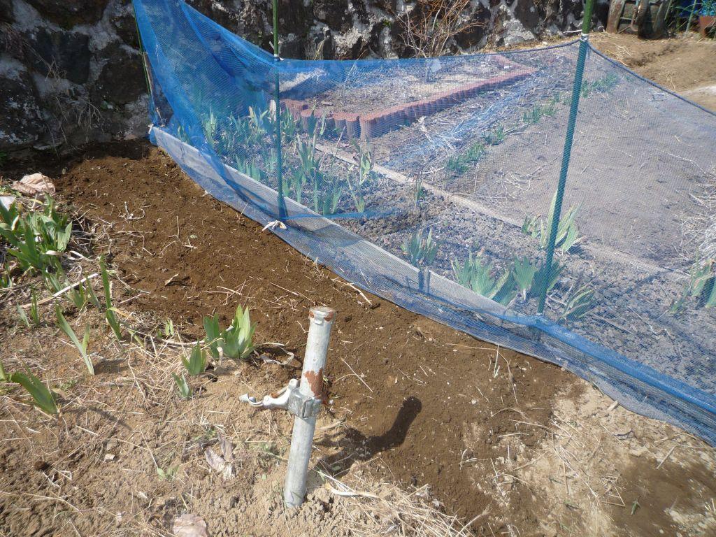画像2(残った種芋の植え付け)