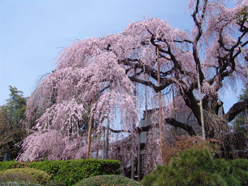 画像2(いと桜)