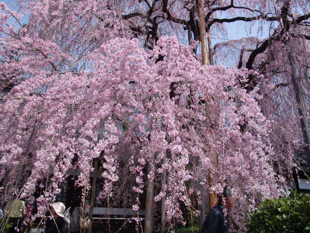 画像3(いと桜)