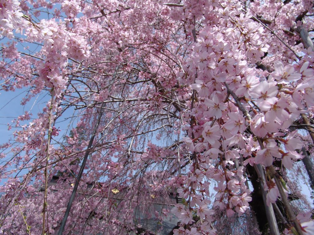 画像4(いと桜)