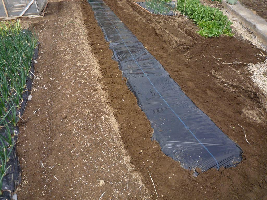 画像2(キャベツの畝作りマルチ張り)