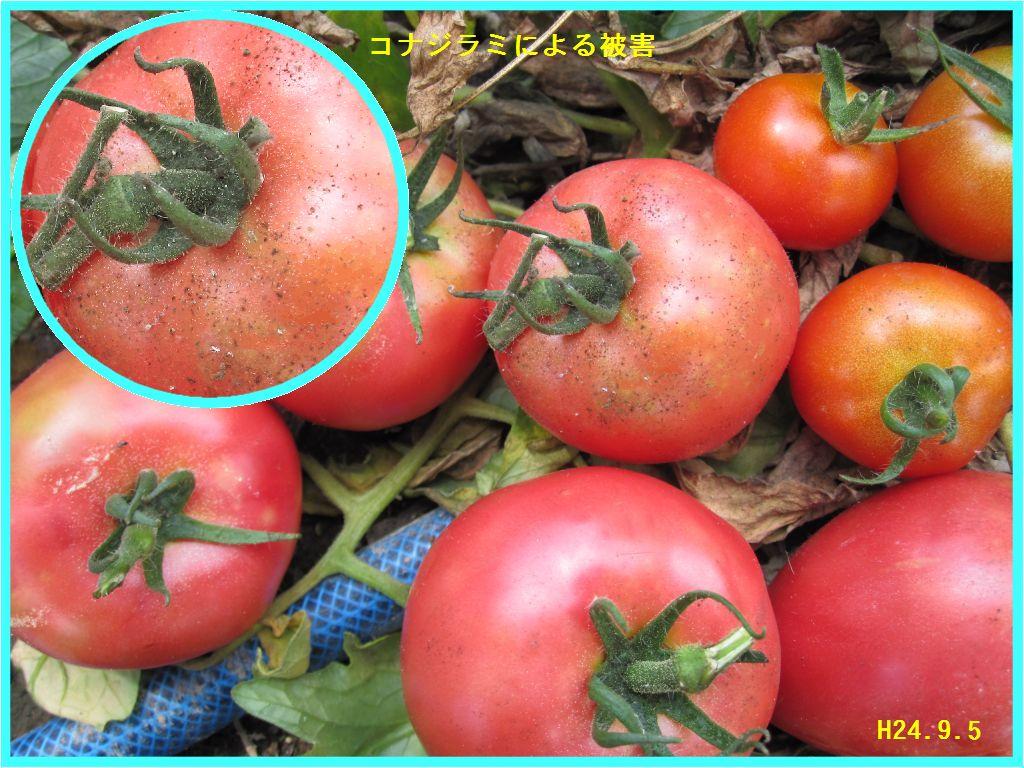 画像2(トマトのコナジラミによる被害)