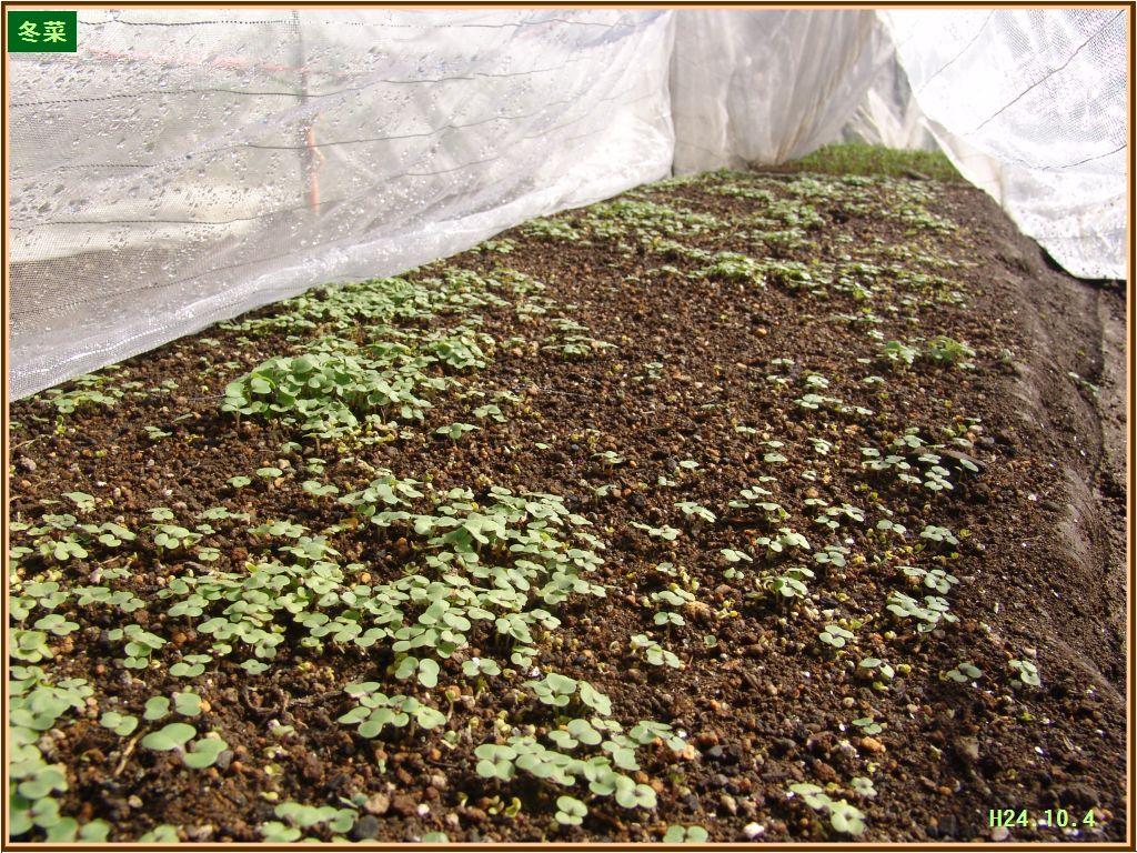 画像2(冬菜の発芽)