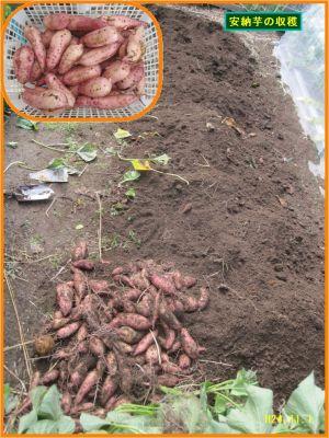 画像3(安納芋の収穫)