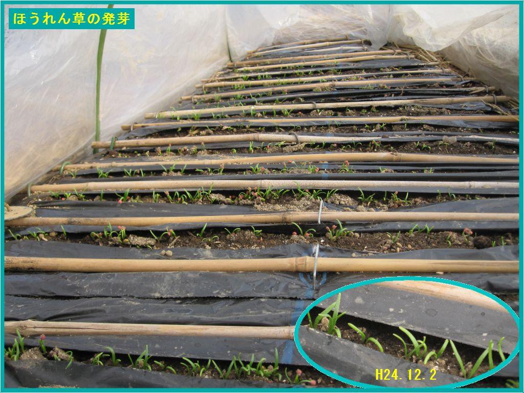 画像3(3回目播種のほうれん草の発芽)