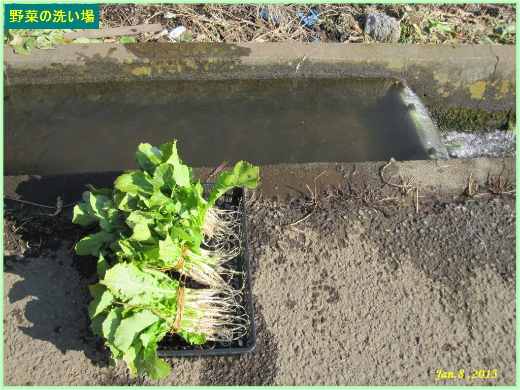画像4(収穫した水掛け菜と野菜の洗い場)