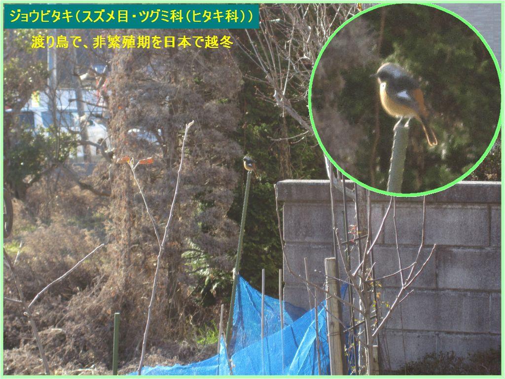 画像9(野鳥ジョウビタキ)