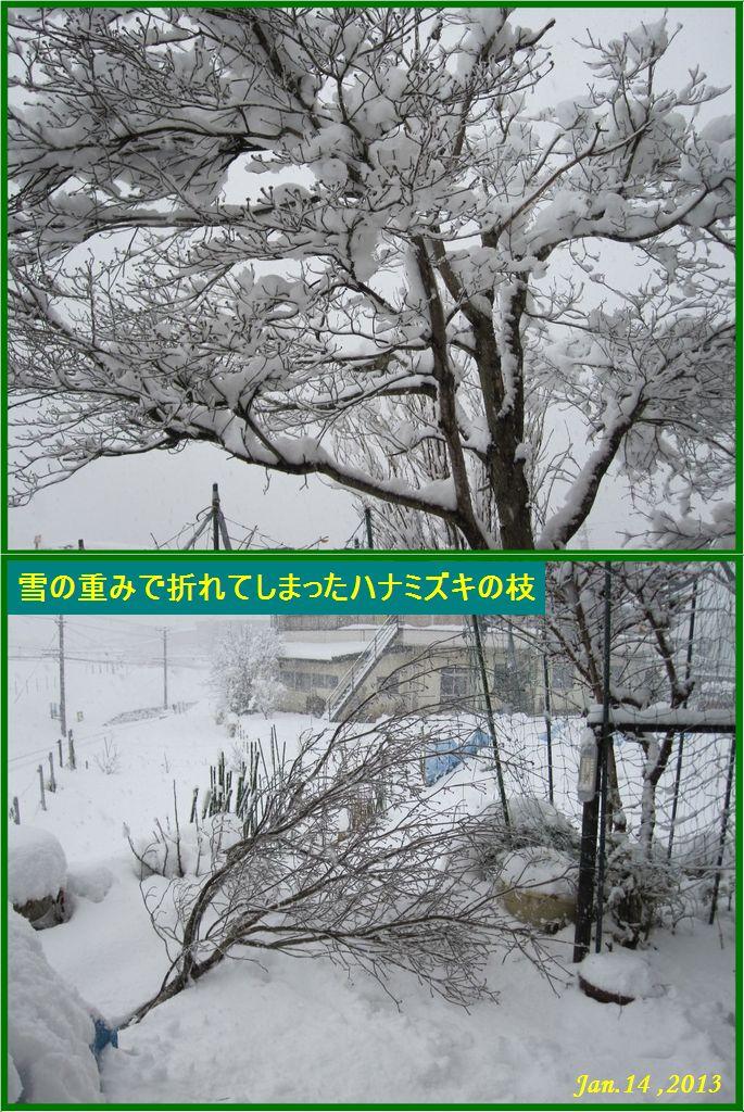 画像2(雪の重みで折れてしまったハナミズキ)