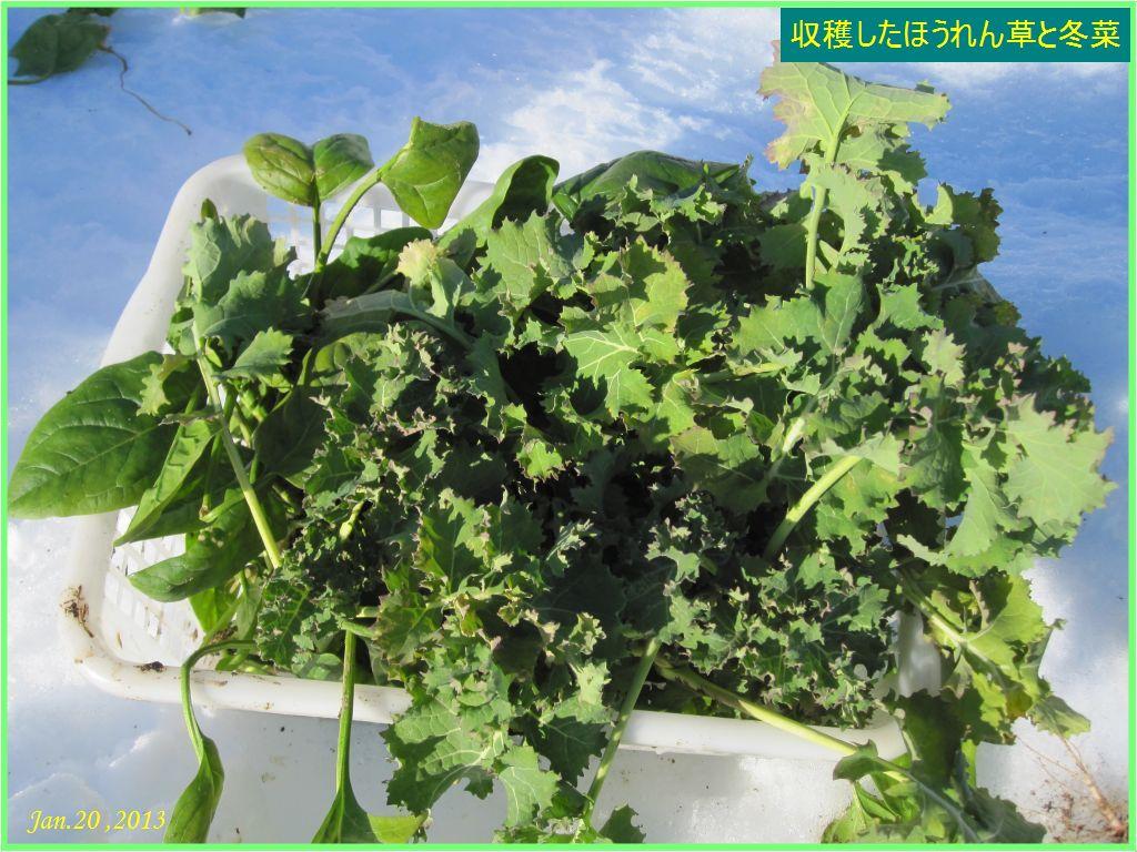 画像4(収穫したほうれん草と冬菜)