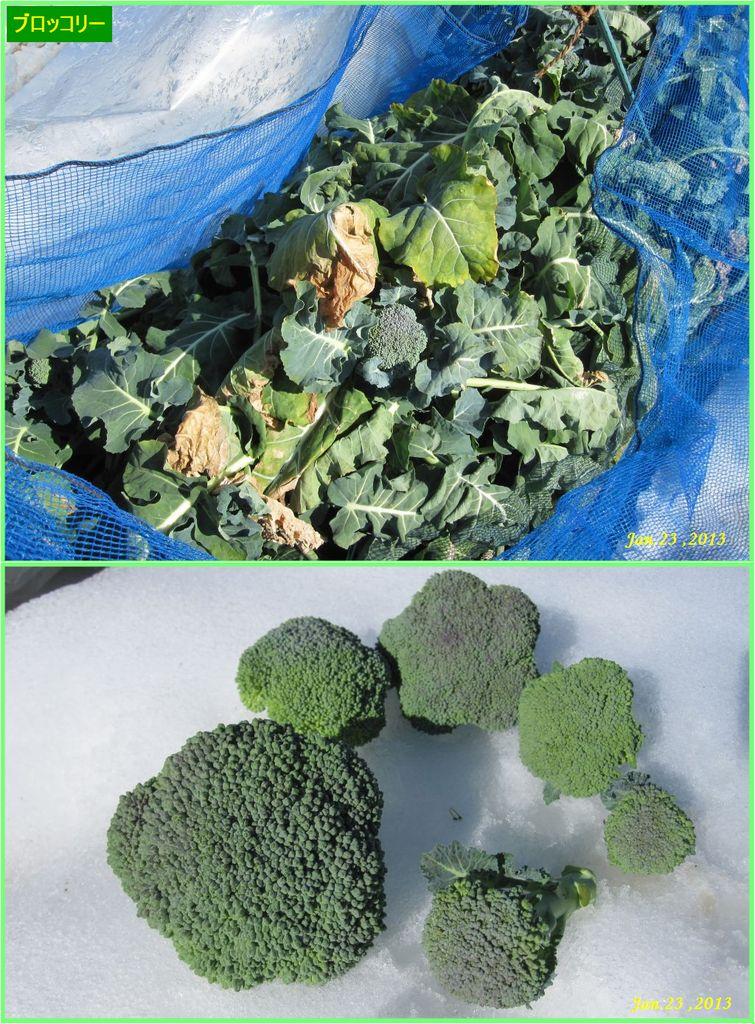 画像1(ブロッコリーの収穫)