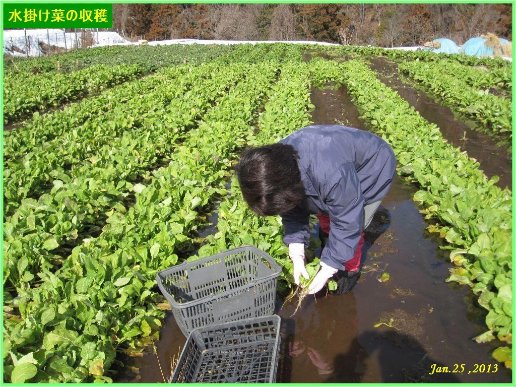 画像1(水掛け菜の収穫)