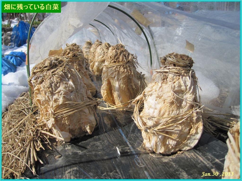 画像1(畑に残っている白菜)